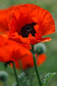 flowers poppies poppy flower free stock photo public domain pictures