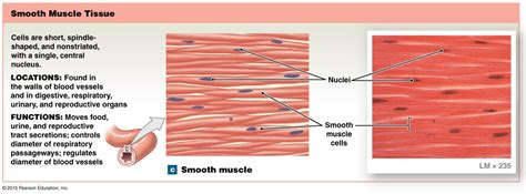 The pacemakers are an unusual type of muscle. Smooth muscle tissue. | Smooth muscle tissue, Muscle tissue