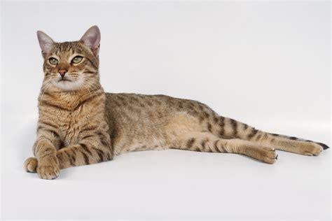 Savannah - Cat Breed Profile and History