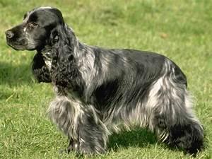 About Dog English Cocker Spaniel