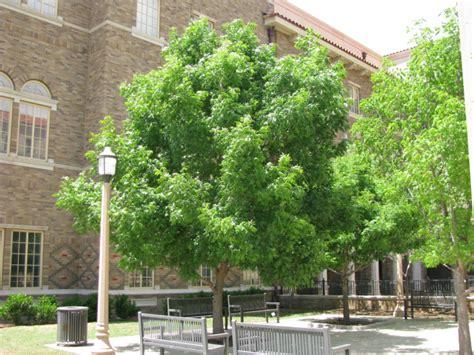 tree land nursery dallas texas chinese pistachio tree