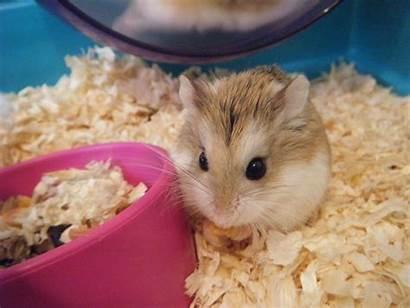 Hamster Wallpapers Hamsters Definition Desktop Dieren Achtergronden