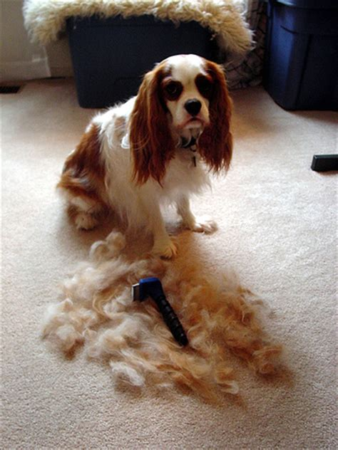 Do Spaniels Shed Hair by Cavalier King Charles Spaniel Australian Lover