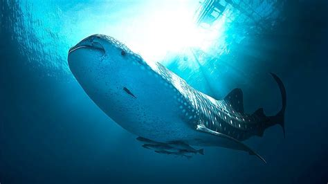 diving  whaleshark nabire papua indonesia hd
