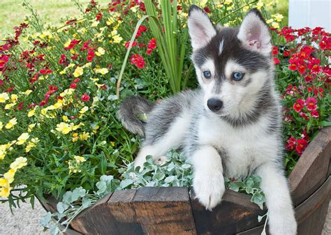 Do Pomsky Dogs Shed by Pomsky Dogs The Pomeranian Husky Mix