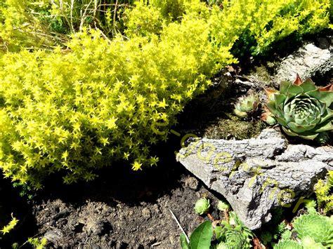 Stauden Für Steingarten by Steingarten Stauden Mix Edelwei 223 Blaukissen Uvm 100 Samen