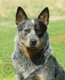 snow for cattle molly the blue heeler cattle the o jays and snow
