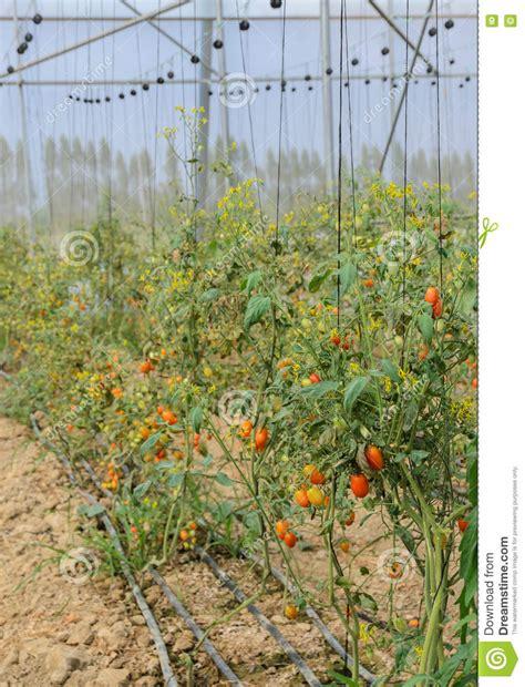 Plantation De Tomate En Serre Chaude Photo Stock