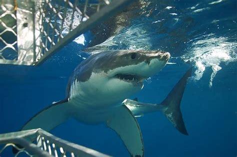 aquarium grand requin blanc 28 images tr 232 s un grand requin blanc meurt en 3 jours dans