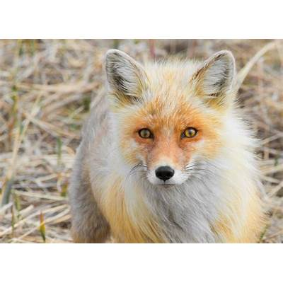 File:Alaska Red Fox (Vulpes vulpes).jpg - Wikimedia Commons