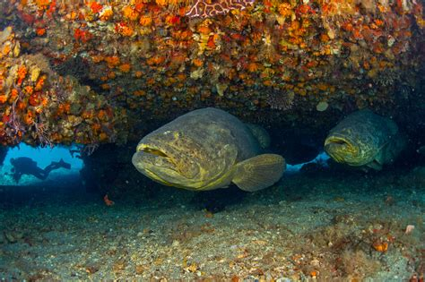 grouper goliath singer swimming super looks takes island shelter barge underneath lazaro upside ruda pair photographer while down