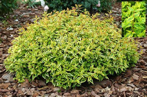 garden bushes abelia kaleidoscope garden housecalls