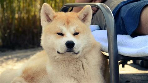What Months Do Akitas Shed by Japanese Akita Inu Info Temperament Puppies Pictures