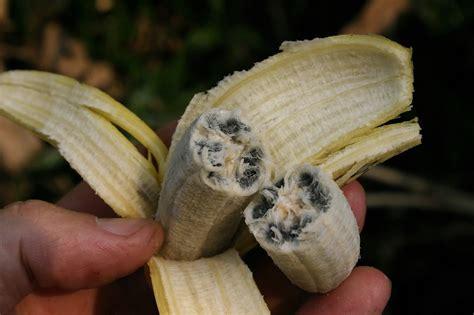do bananas seeds the banana did you know