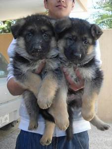 males only german shepherd puppies for sale manchester With german shepherd dog house for sale