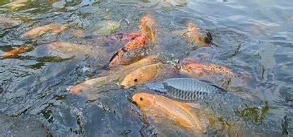 Bibit Ikan Nila Paling Bagus cara budidaya ikan air tawar yang paling menguntungkan
