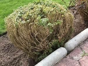 Buxbaum Schneiden Wann : buchsbaum als kugel buxus sempervirens arborescens ~ Lizthompson.info Haus und Dekorationen