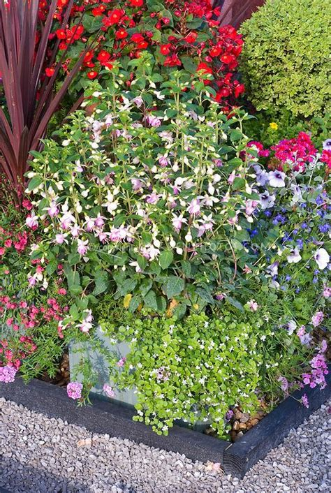 annual flower container ideas fuchsia bacopa in pot container garden mixture of annual plants in bloom shade tolerant