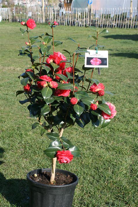 nos camellias japonica floraison hivernale prestavert blog
