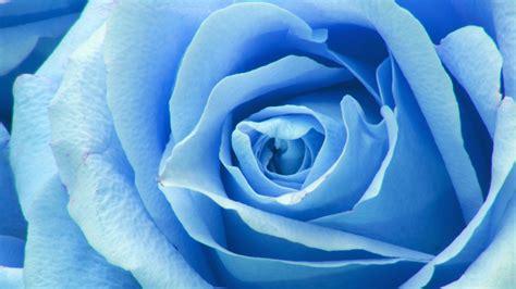 ne flower blue rose zoom love wallpaper