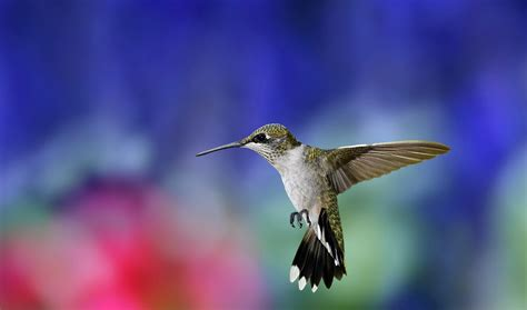 Animals Birds Wallpaper - nature animals birds hummingbirds wallpapers hd
