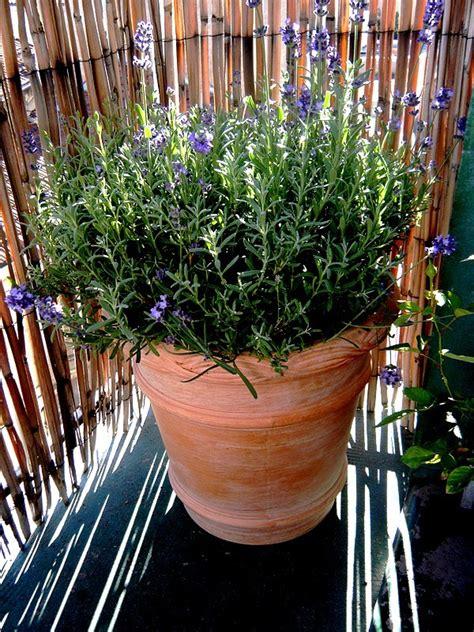 lavande en pot entretien lavande en pot terre cuite au jardin forum de jardinage