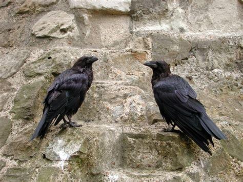 pair of tower of london ravens circa 2001 ravens