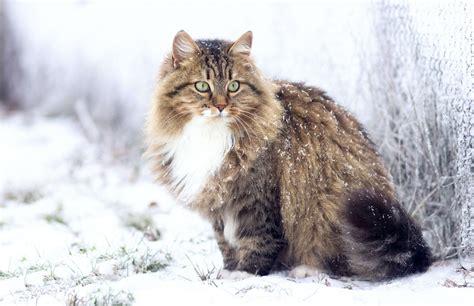 sibirische katze steckbrief mein haustier
