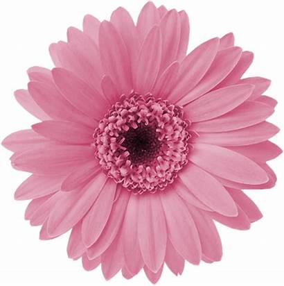 Pink Flower Clipart Daisy Transparent Daisies Webstockreview