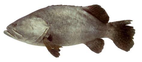 grouper giant fish facts dk types eggs flatfish different true sea ma