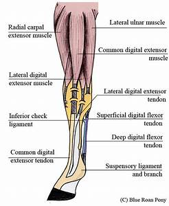 Horse Anatomy Muscles And Tendons