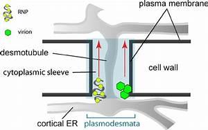 Schematic Representation Of Plant Plasmo