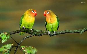 Lovebirds Wallpapers - Wallpaper Cave