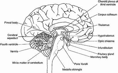 Brain Diagram Worksheet Labeled Human Drawing Labels