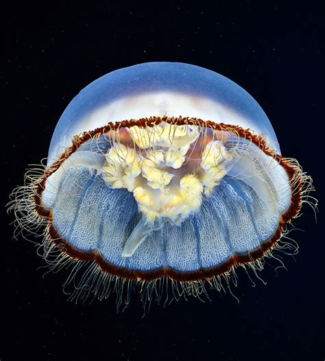 underwater jellyfish photography semenov s captivating jellyfish photography Underwater Jellyfish Photography