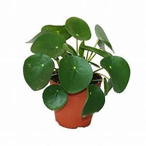 Pilea Pflanze Kaufen : pilea peperomioides gl ckstaler chinesischer geldbaum ~ Michelbontemps.com Haus und Dekorationen