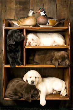 cards  labrador portraits puppy prints dog prints dog