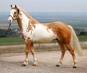 palomino overo - Paint Horse stallion Samy | colours ...