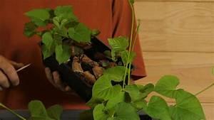 Culture De La Patate Douce : 3 m thodes pour r ussir vos plants de patate douce youtube ~ Carolinahurricanesstore.com Idées de Décoration