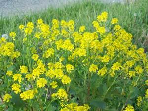 Wild Yellow Field Mustard