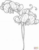 Pea Sweet Coloring Drawing Flower Flowers Drawings Draw Colouring Super Supercoloring Printable sketch template