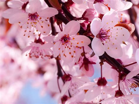 cherry blossom color blooming pink cherry blossom pink color wallpaper