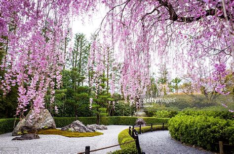 cherry blossom garden weeping cherry blossoms by japanese zen garden stock photo getty images