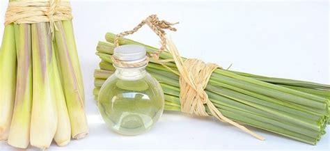 khasiat daun  minyak serai   memasak