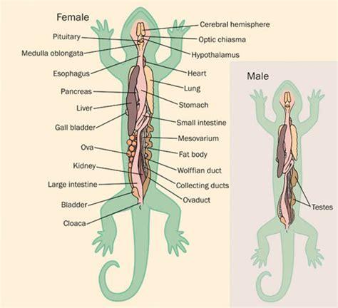 salamander facts habitat life cycle diet  pictures