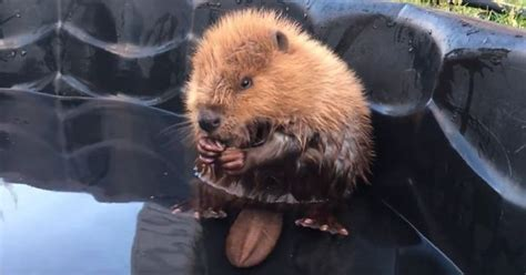 orphaned baby beaver   control   tail