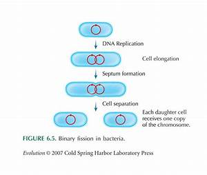 Knowledge Class  Amitotic Cell Division In Prokaryotes