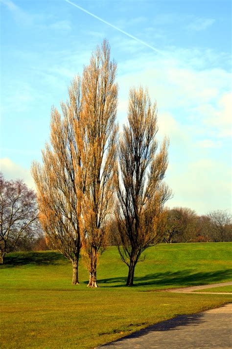 What Is A Lombardy Poplar: Learn About Growing Lombardy Poplars In Landscapes