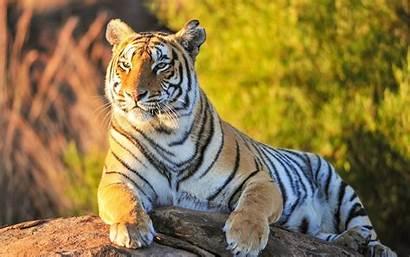 Tiger Wallpapers Desktop Resolution Screen Phone