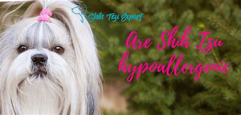 do shih tzus shed are shih tzu hypoallergenic do shih tzu shed find out